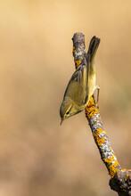 Söğütbülbülü » Phylloscopus Trochilus » Willow Warbler