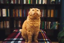 Gorgeous British Shorthair Ginger Cat.