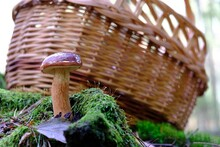 Wet From The Rain, Growing In Forest, Brown Imleria Badia, Commonly Known As The Bay Bolete - Edible, Very Tasty Mushroom. Wicker Basket Standing In Background.