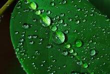 Raindrops, On Gooseberry Leaves Fresh Succulent Leaves Of Beautiful Trees Up Close, Dew After Rain.