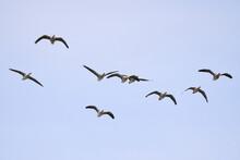 Flock Of Greylag Geese In Flight (Anser Anser)