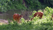 Seen Grazing At A Stream During The Afternoon, Banteng, Bos Javanicus, Huai Kha Kaeng Wildlife Sanctuary.