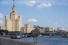 Herring Gull In Kotelnicheskaya Embankment, Moscow