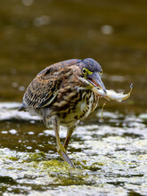 View Of A Bird Walking On The Water With A Tiny Fish In Its Mouth