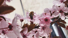 Abeja En Flores De Almendro