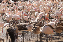 Large Group Of Wild Flamingos Near A Pond