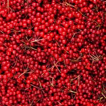 Background Red Viburnum Berries.