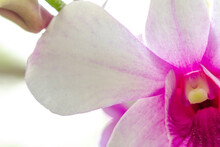 Close Up Dendrobium Nobile Orchid With Purple And White Flowers