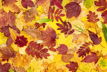 Colorful Autumn Leaves And Viburnum Red Berries. Tree Fallen Leaf Pattern. Fall Season Beautiful Nature Background