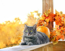 Сute Cat And Autumn Decor In Garden. Symbol Of Autumn Season, Halloween, Thanksgiving Holiday. Fall Time Concept. Portrait Of Beautiful Gray Cat With Orange Pumpkins