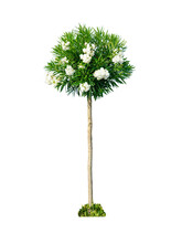 Beautiful Flowering Oleander Tree  With Thin Trunk, Spherical Crown With White Flowers Isolated On White Background.