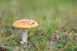 Grzybobranie muchomor czerwony w trawie