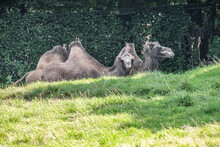 Pair Of Camels Resting On A Green Field