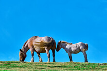 Wild Horse With Her Calf In The Pyrenees