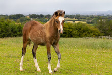 Beautiful Young Foal Stands In Field In English Countryside Looking Healthy And Well And Very Pretty.