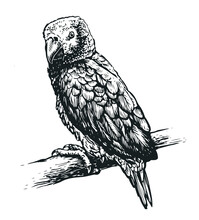 Parrot Bird Isolated On White Background. Tropical Animal Realistic Sketch. Vector Illustration Vintage Engraving