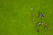 Drone Flying Over Various Brown White Mustangs And Cows Running On Meadow And Graze Grass On The Farmland. Aerial View. Group Of Animals On Pasture. Rural Scene. Endangered Free Families Of Wild Horse