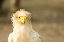 Beautiful Egyptian Vulture At Enclosure In Zoo, Space For Text