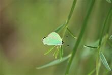 Monochrome, Vert, Macro, Papillon , Thècle De La Ronce, Insecte, Gros Plan, Beau, Fragile, Faune, Ailes, été, Plante, Printemps, Nature, Antennes