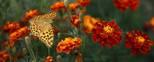 Beautiful Brown Butterfly On Marigolds Flowers