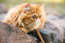 Closeup Of Red Persian Cat With Big Orange Round Eyes