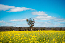Landscape Of Yellow Flowers Field In The Sunny Morning