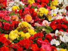 Vibrant Garden With Begonia Flowers In All Colours
