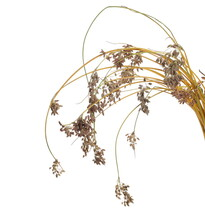 Dry Marsh Yellow Grass With Seed, Bulrush, Reed Pond Isolated On White Background