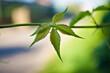 Młody listek winobluszczu ( dzikiego wina)  (Parthenocissus Planch.) . Wild wine - a little leaf