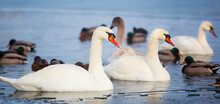 Beautiful White Swans Swimming In Blue Water In Icy Lake, Web Banner