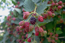 Blackberry Berries Ripen On A Branch Of A Thornless Blackberry Bush In Autumn, Many Red And Black Berries Have Grown In The Garden
