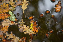 Acorns And Fallen Oak Leaves In An Autumn Puddle