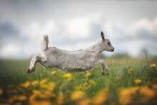 A Crazy Little Gray Goat Running Across A Green Field Among Blooming Dandelions Against A Gloomy Blue Sky. Paws In The Air. Profile View