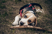Beautiful Dog Of The Beagle Breed With A Stick