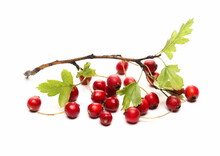 Red Fruit, (Crataegus Monogyna) Common Hawthorn, Oneseed Hawthorn Or Single-seeded Branch Isolated On White Background