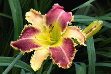 Raindrops On Dazzling Daylily Blossom With Yellow Sepals And Vibrant Burgundy-colored Petals. Flower Petals Have Unusual  Pointed Edges Resembling Shark's Teeth. Hemerocallis Vaisseau D'Or.