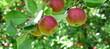 canvas print picture - Saftige rote Äpfel am Baum vor der Apfelernte in Lana, Südtirol, Europa