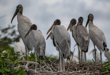 Tranquil Scenery Of Wood Storks In A Nest