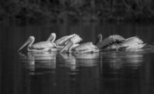 Grayscale Shot Of White Pelicans Swimming In The Lake Of Everglades National Park In Florida