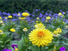 A Bright Yellow Strawflower Stands Out Against Purple Flowers In The Background.
