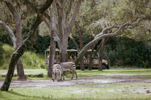 Open-air Zoo With Two Grazing Zebras And A Tourist Bus Behind The Trees