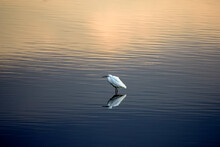 An Egret That Is Reflected On The Luster Of A Lake