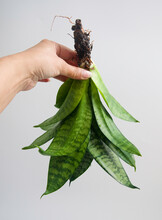 Hand Holding Exposed Roots Of Sansevieria Trifasciata Hahnii Birds Nest Snake Plant, Out Its Pot. Isolated On White Background, Text Space. Dense Rosette Of Green Leaves With Gray-green Crossbands.