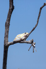 A Painted Reed Frog, Hyperolius Marmoratus, Sits On A Branch