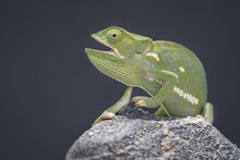 A Flap-necked Chameleon, Chamaeleo Dilepis, Mouth Open, Black Background