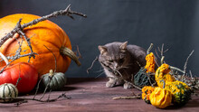 Gray Cat On Black Background With Halloween Pumpkins