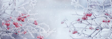 Viburnum Bush With Frost-covered Red Berries And Branches, Panorama. Winter Christmas Background
