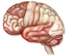 Areas Of The Brain: Prefrontal Cortex, Premotor Cortex And Oculomotor Cortex. .
