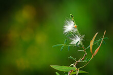 Selective Focus On Milkweed Seeds On Blurred Green Background.