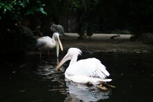 Shallow Focus Shot Of Pelicans In The Pond